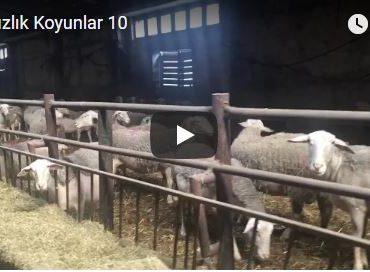 Damızlık Koyunlar 10