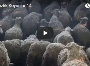 Damızlık Koyunlar 14