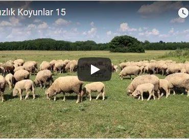Damızlık Koyunlar 15