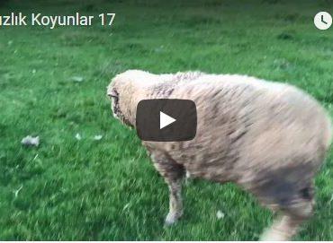 Damızlık Koyunlar 17