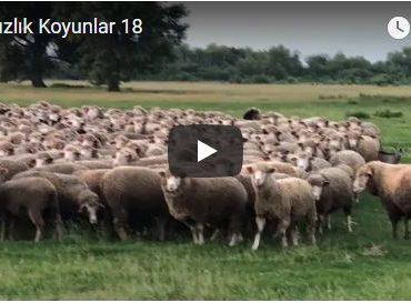 Damızlık Koyunlar 18