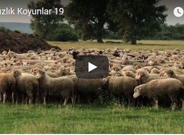 Damızlık Koyunlar 19