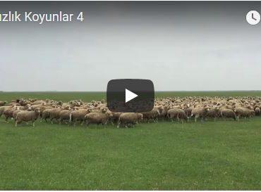 Damızlık Koyunlar 4