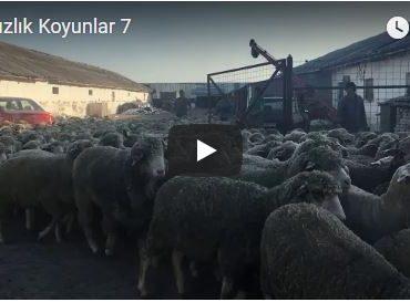 Damızlık Koyunlar 7