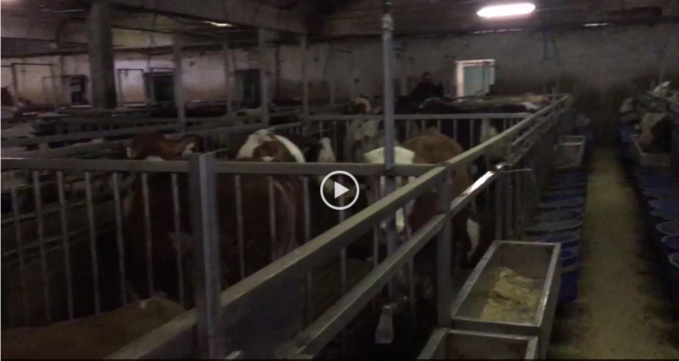Besilik Sığırlar 12