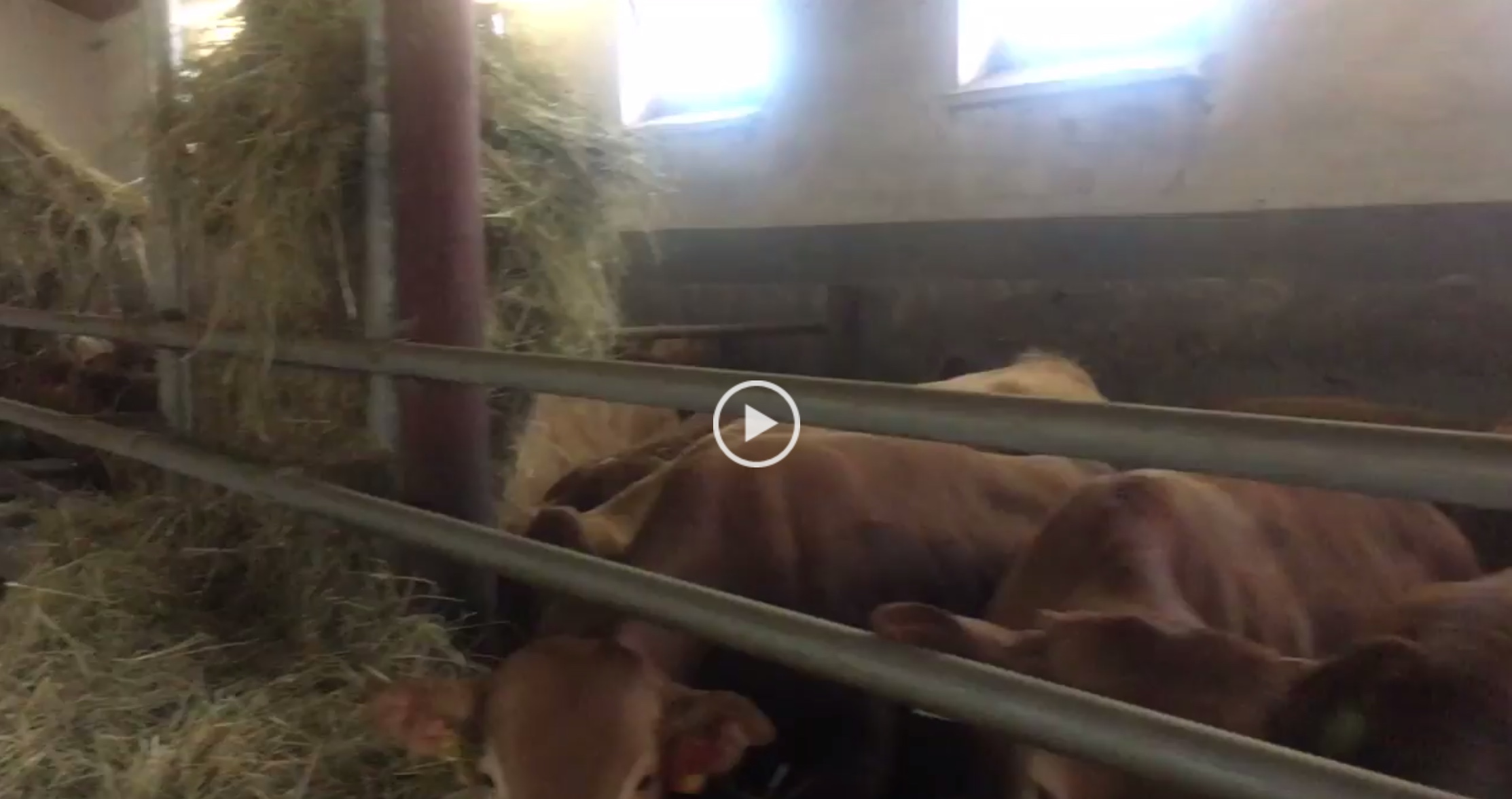 Besilik Sığırlar 5